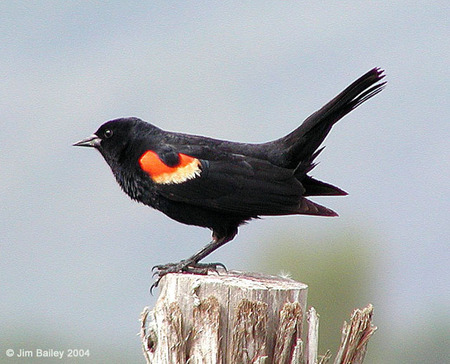 Redwinged_blackbird_1