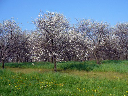 Wabcherrytree